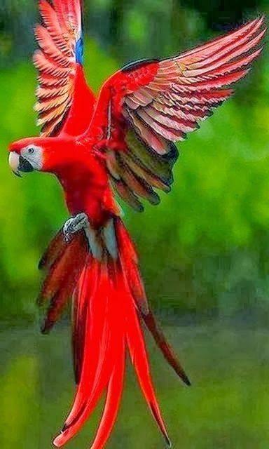 Ara papegøye